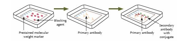 Step Four: Antibody Hybridization
